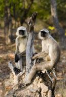Chilling_Langurs_India