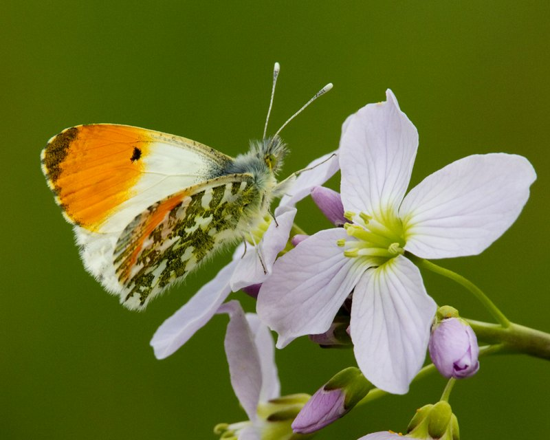 Male Orange-tip Butterfly
