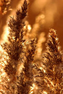 Autumn_Reeds