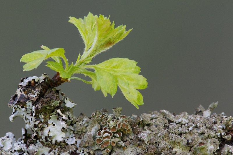 Hawthorn and Lichen