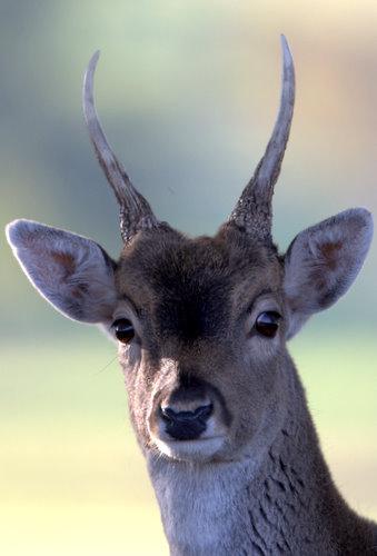 Powderham_Fallow_Deer_1