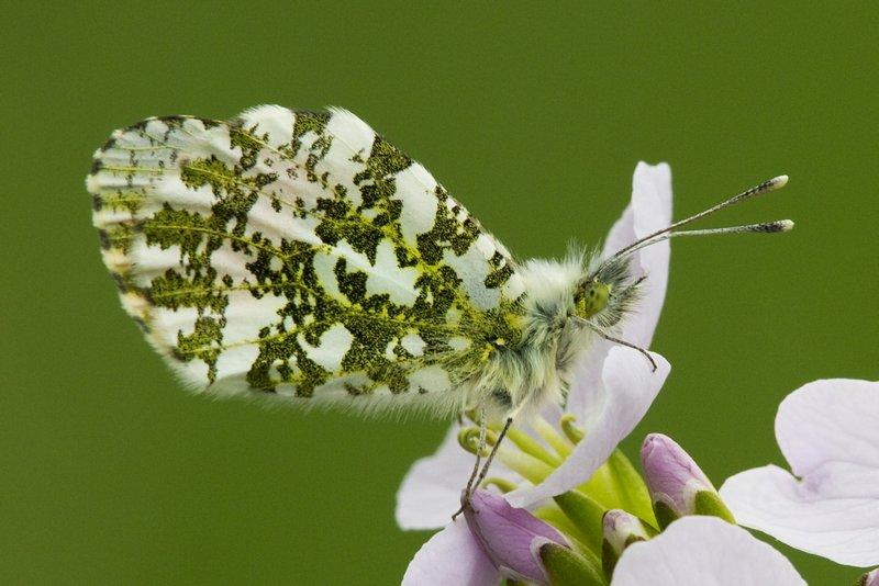 Male Orange_tip Butterfly
