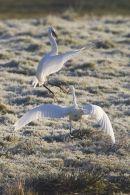 Fighting Little Egrets