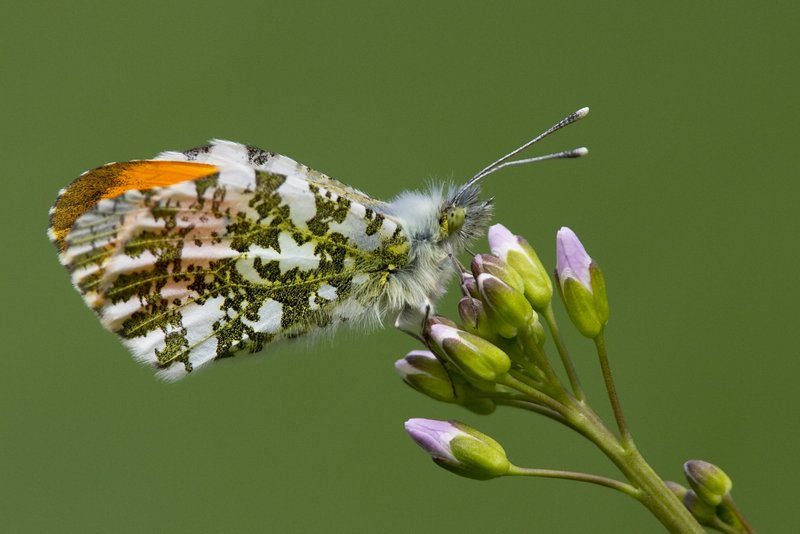 Male Orange-tip Butterfly