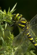 Golden-Ringed_Dragonfly_Perched_on_Gorse
