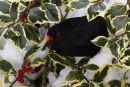 Winter_Blackbird
