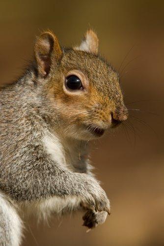 Grey_Squirrel