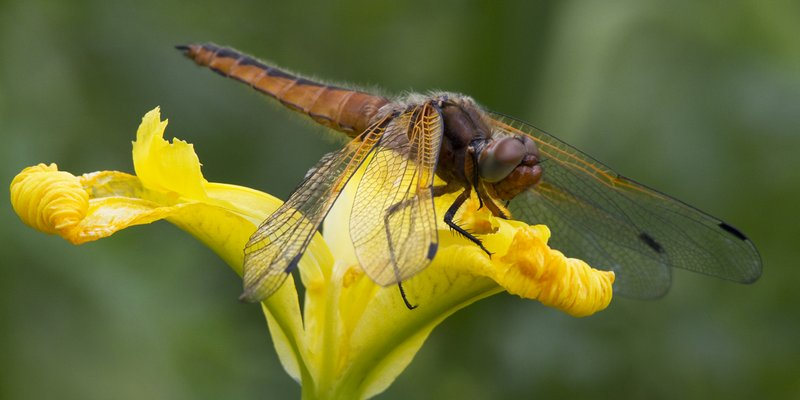 Immature Female Scarce Chaser