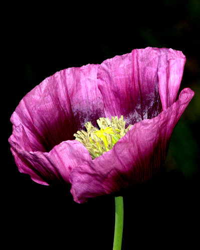 Purple_Poppy_1