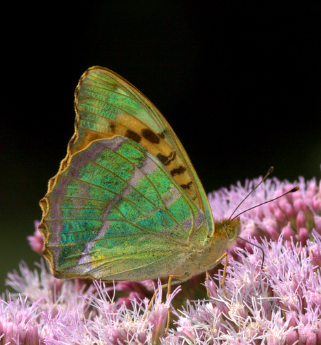 Silver-washed<br> _Fritillary_<br> Butterfly_1