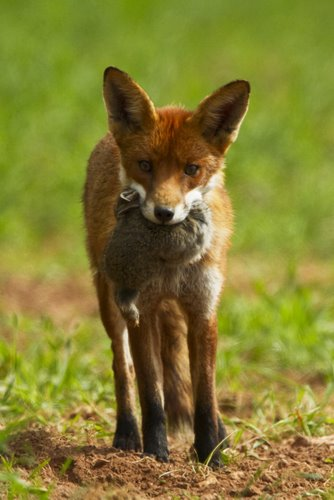 Adult Fox With Prey