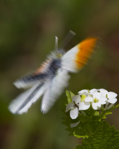 Abstract Male Orange-tip Butterfly