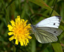 Small_White_Butterfly_1