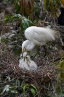 Feeding_Intermediate_Egret_Family
