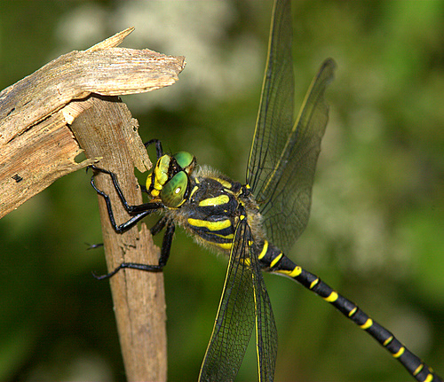 Golden-ringed_Dragonfly_2