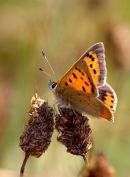 Small_Copper_Butterfly_2