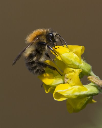 Bee on Meadow Vetchling
