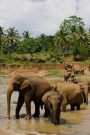 Bathing_Asian_Elephants