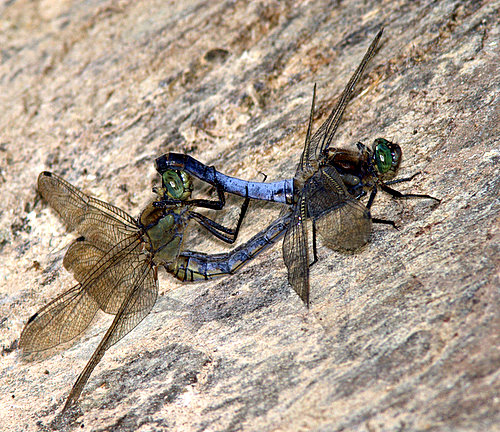 Mating_Black-tailed_Skimmers