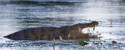 Mugger_Crocodile