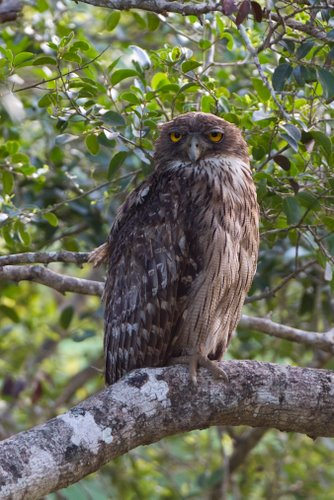 Brown_Fish_Owl