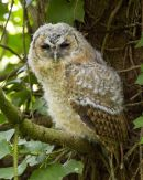 Tawn Owl Fledgling
