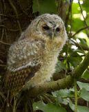 Tawny Owl Fledgling
