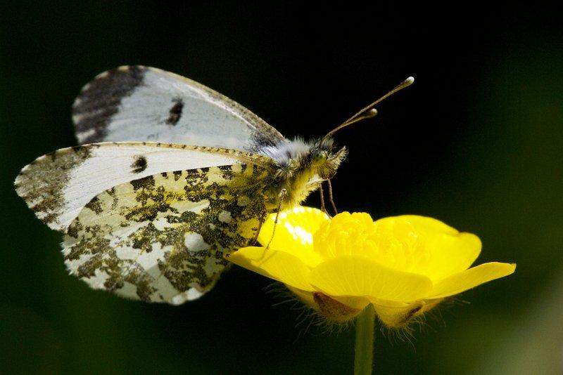 Female Orange-tip Butterfly