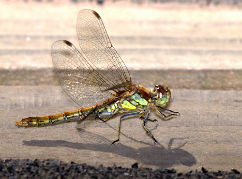 Common_Darter_3