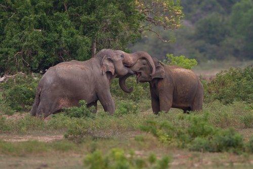 Amorous_Elephants