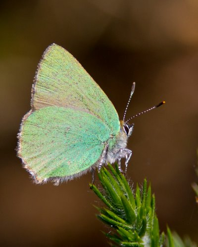 Green_Hairstreak_Butterfly