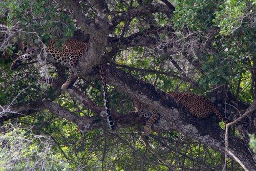 Resting_Leopards