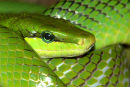 Red-tailed_Rat_Snake_1