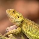 Dragon_Lizard_1