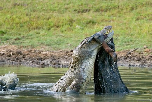 Marsh/Mugger_Crocodile