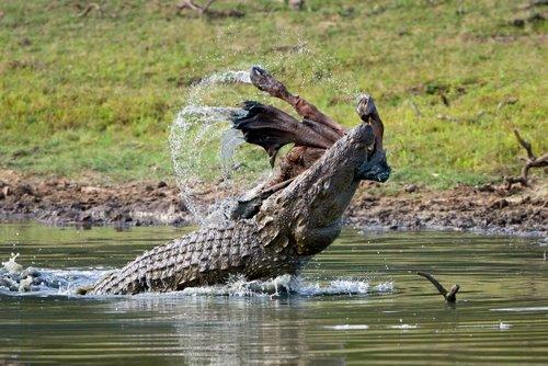 Marsh/Mugger_Crocodile