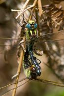 Mating_Hairy_Dragonflies