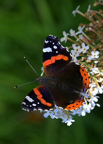 Red_Admiral_Butterfly_1