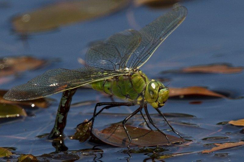 Female_Emperor_Dragonfly