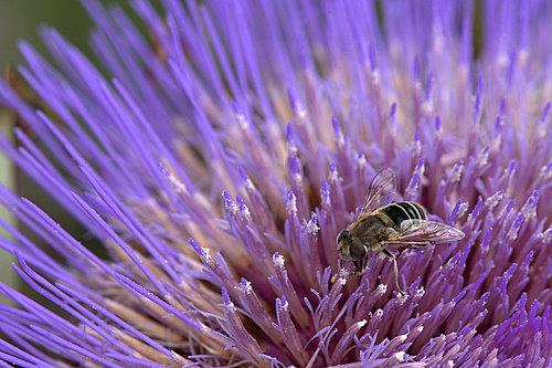 Cardoon_Flower_&_Bee