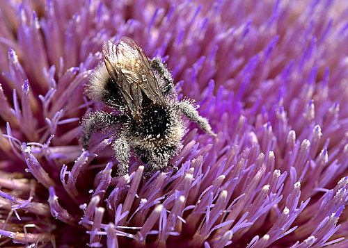 Pollen_Covered_Bumble_Bee
