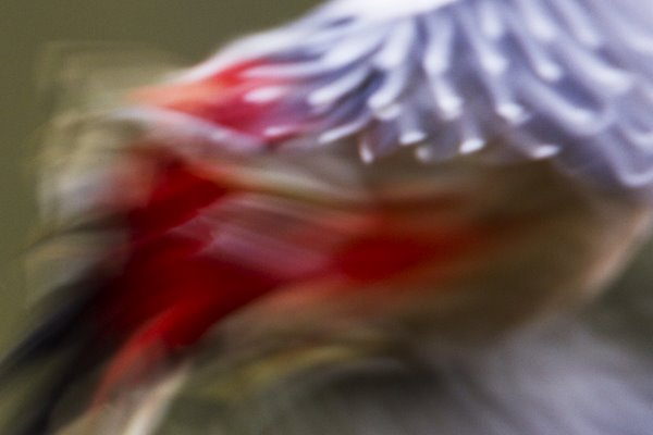 Abstract - Greater Spotted Woodpecker