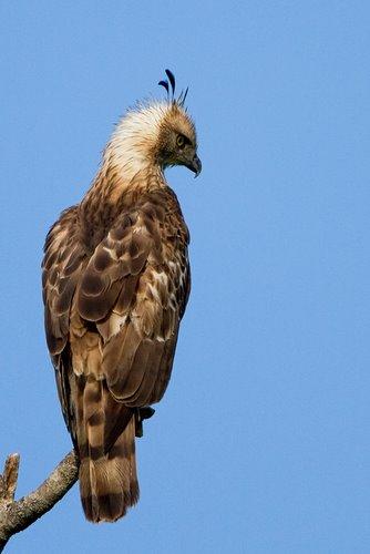 Changeable_Hawk