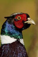 Male (Cock) Pheasant