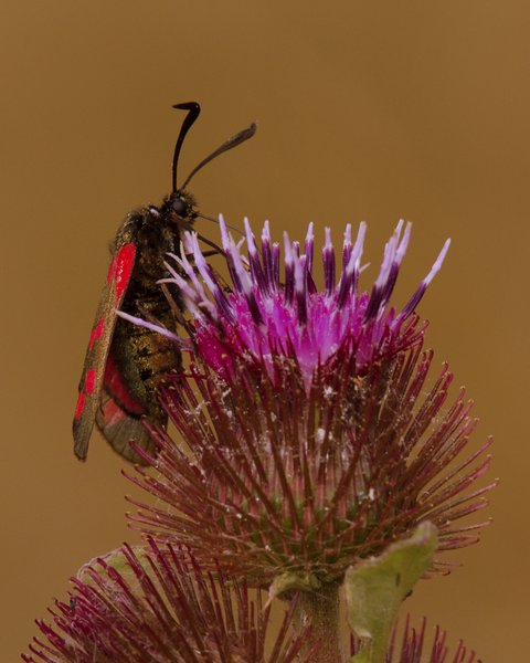 Six-spotted Burnet