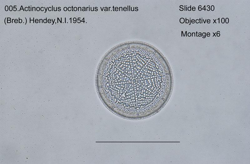 005Actinocyclus octonarius var. tenellus