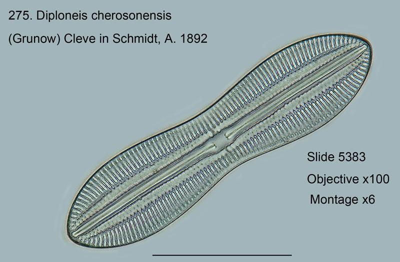 275. Diploneis cherosensis