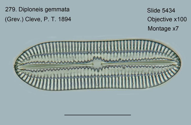 279. Diploneis gemmata
