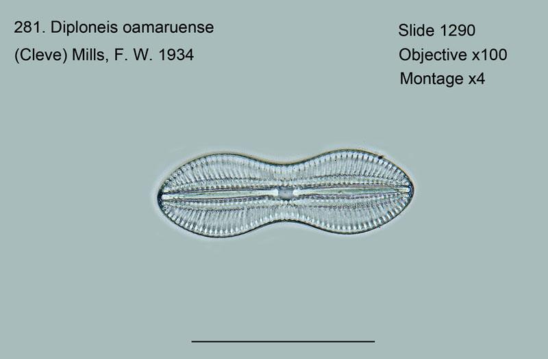 281. Diploneis oamaruensis