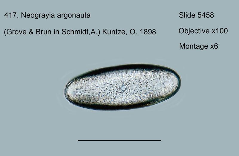 417. Neograyia argonauta